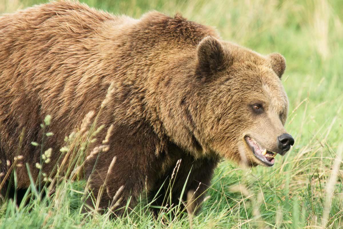 Incontro ravvicinato con l orso bruno gardapost for Cabina di montagna grande orso