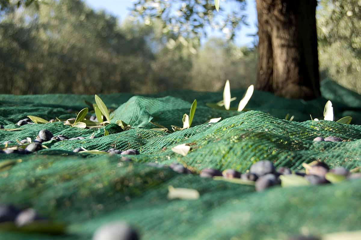 Olivenöl Garda DOP