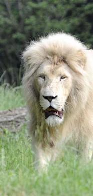 blanco leone candito parco natura viva 2