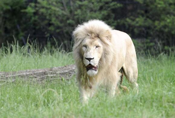 È morto Blanco, il leone candido più vecchio d'Europa