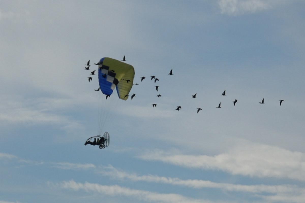 Ibis eremita, la migrazione guidata dall'uomo