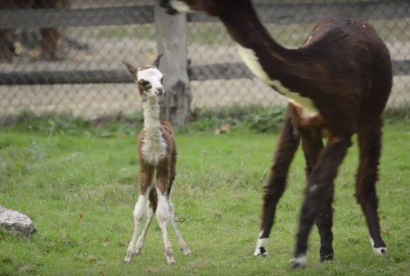 Nasce un alpaca in diretta, il video dal parto a quando si alza
