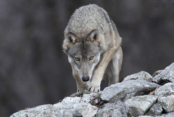 Parco Alto Garda Bresciano, avvistato un lupo a Cima Rest