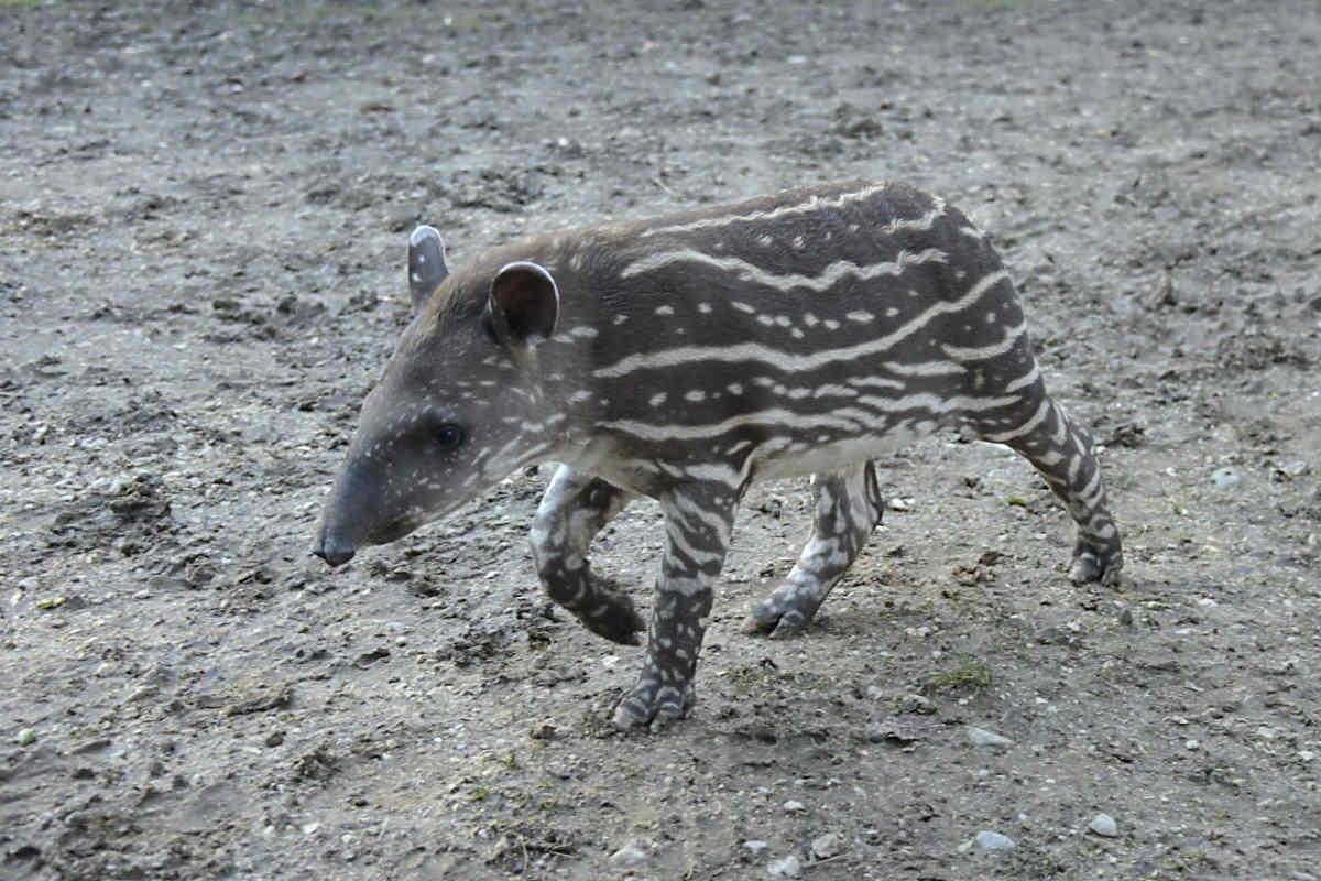 Parco Natura Viva, l'ultima nata del 2017 è Alba, piccola di tapiro