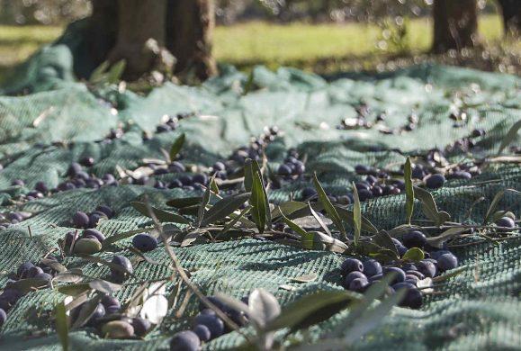 La Festa dell'oliva. Torri del Benaco celebra l'oro verde del Garda